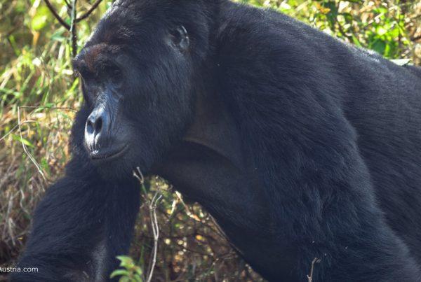 Gorilla Trekking In Bwindi Impenetrable Forest